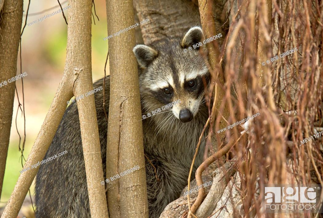 Stock Photo: Raccoon / Racoon searching for food among tree roots Everglades, Florida, USA.