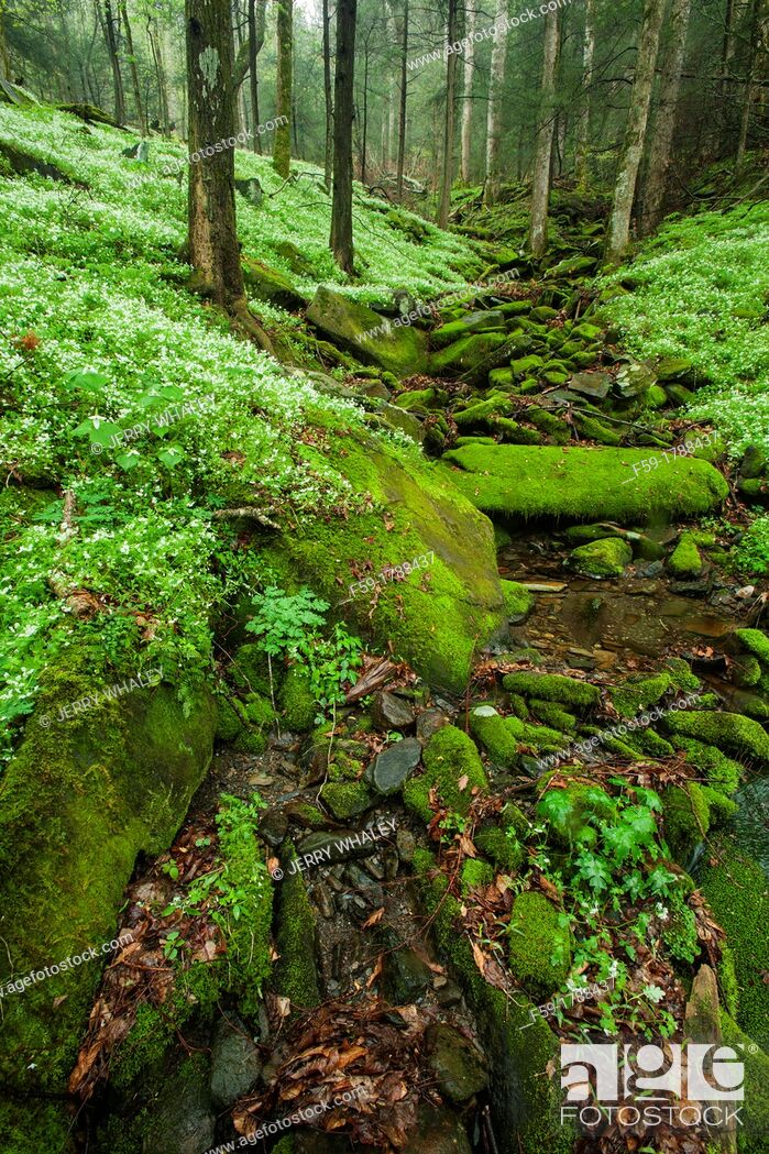 Imagen: Spring, Phacelia & Trillium, Great Smoky Mtns National Park, TN.