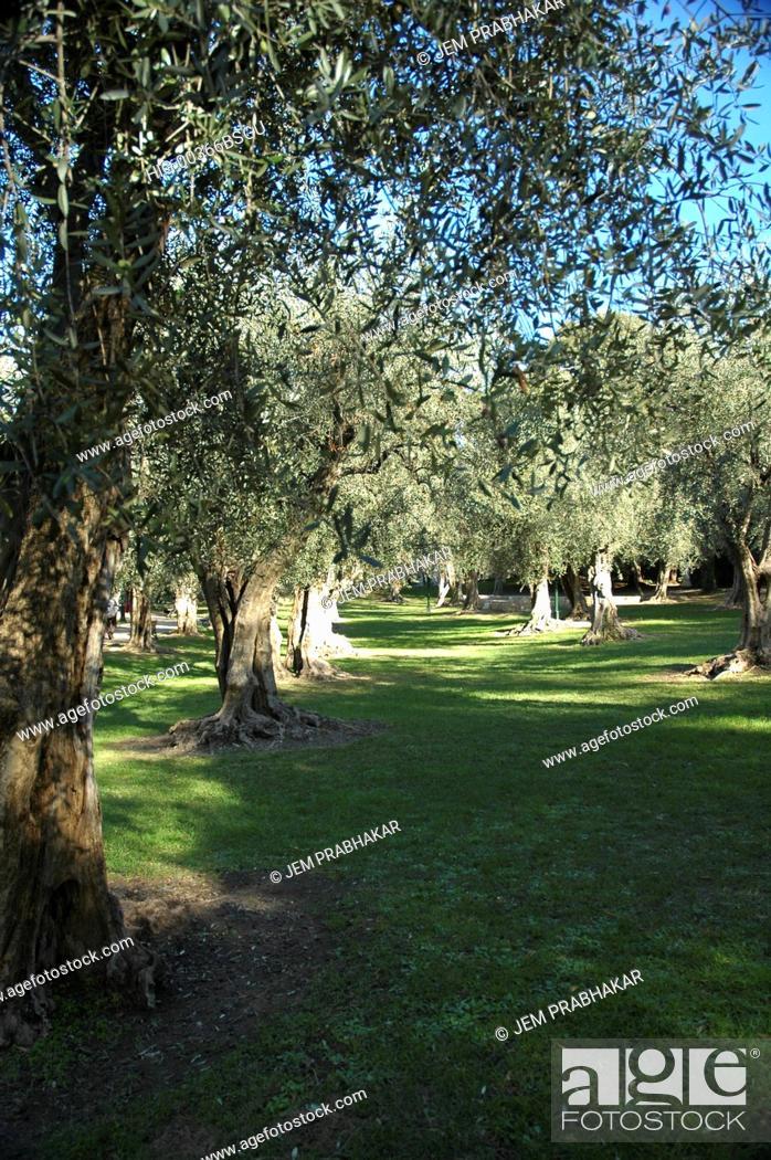 Stock Photo: OLIVE TREES, FRANCE.