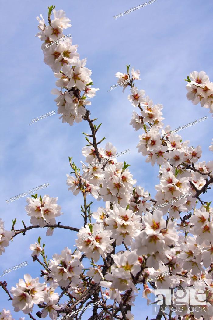 Stock Photo: Blossom almond. Prunus dulcis, syn. Prunus amygdalus Batsch., Amygdalus communis L., Amygdalus dulcis Mill. Photo take in Porrera, Priorat, Tarragona, Spain.