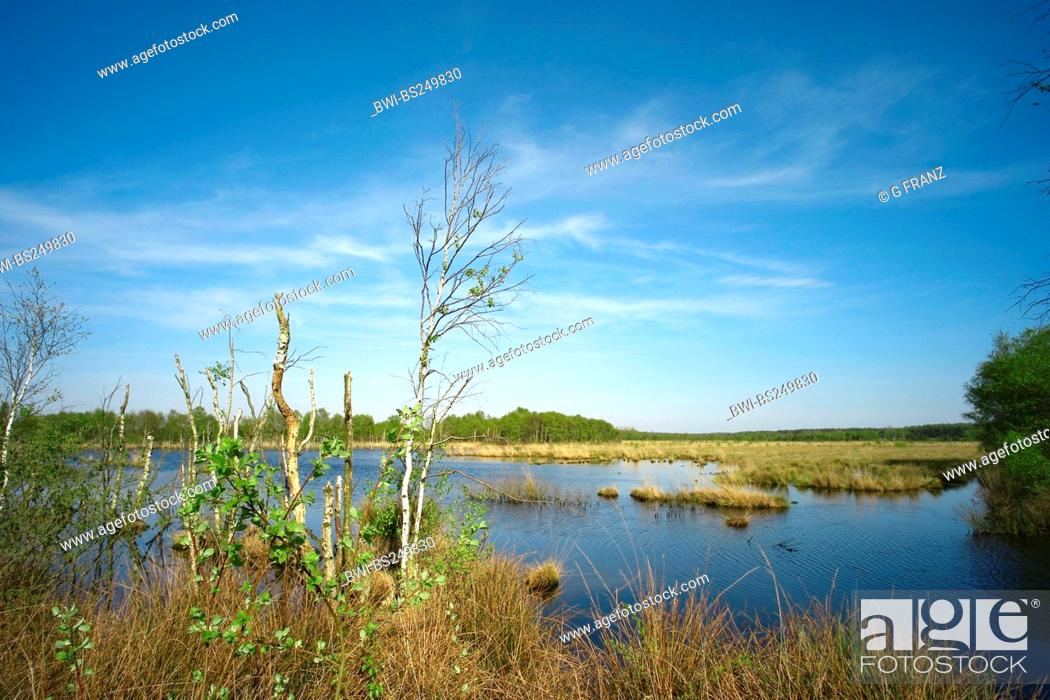 Stock Photo: mire pond in the Koenigsmoor with dying off birches, Germany, Lower Saxony.