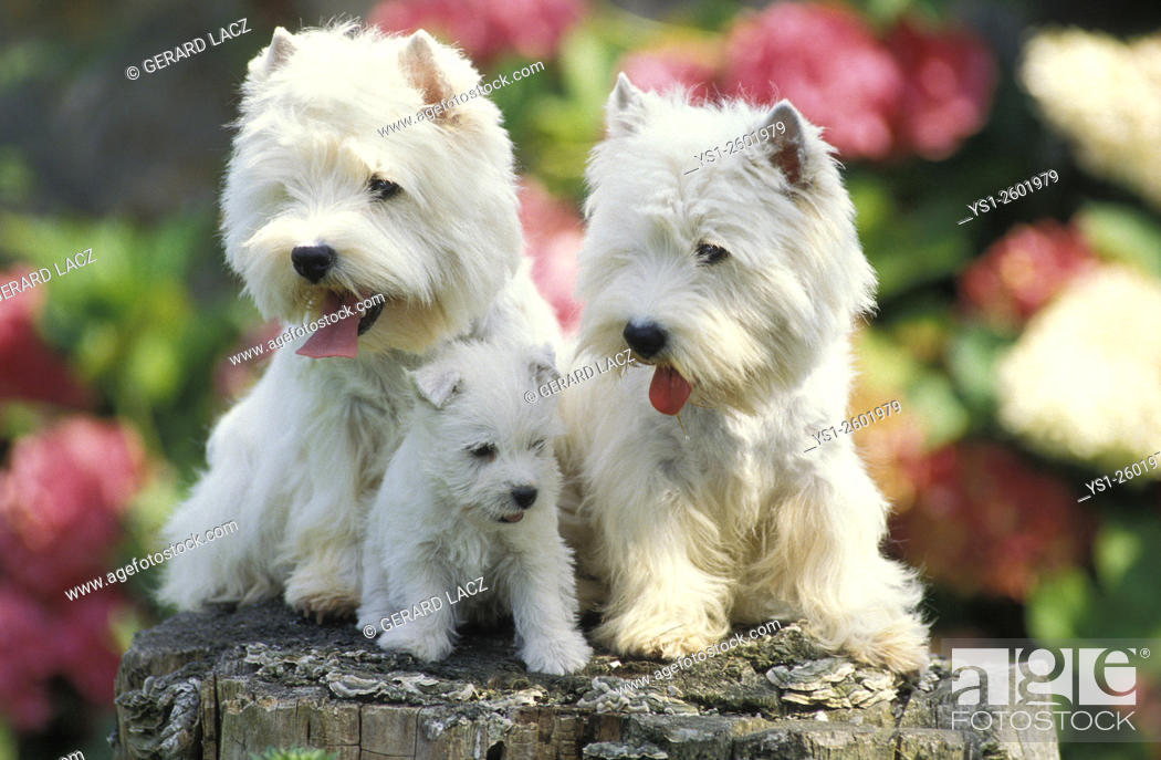 Imagen: West Highland White Terrier, Pair and Pup.