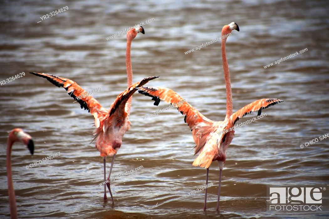 Stock Photo: A couple of pink flamingos opening their wings in Celestun on Mexico's Yucatan peninsula, June 21, 2009.