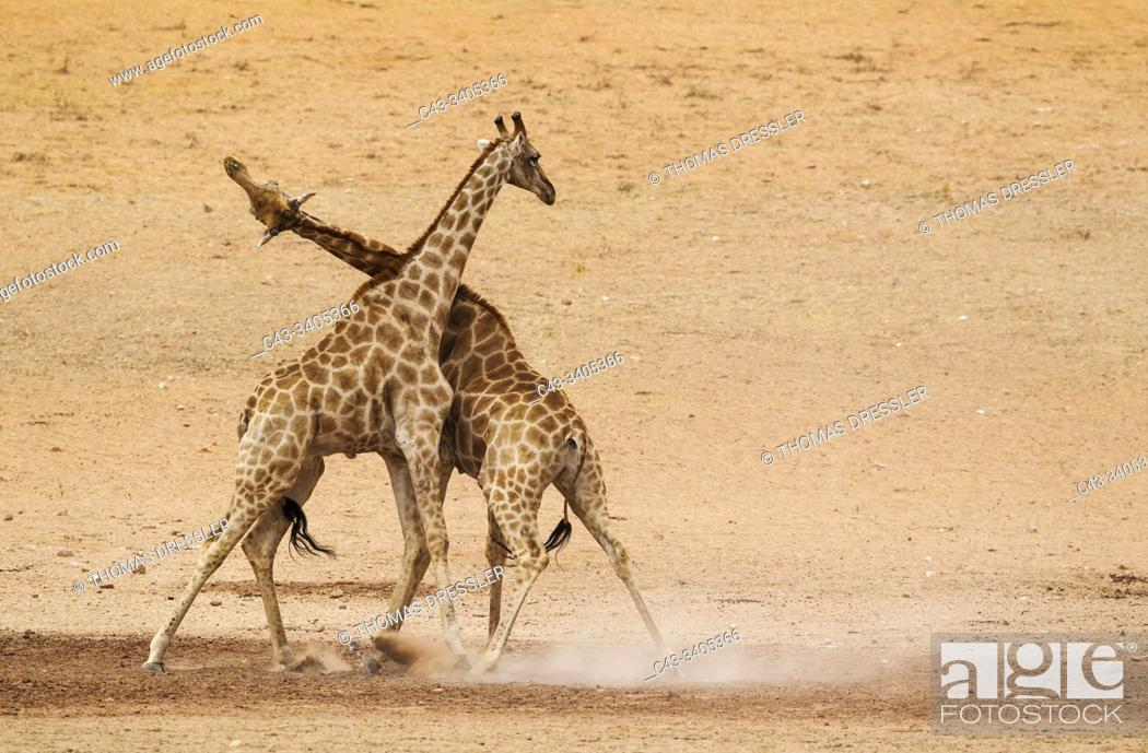 Stock Photo: Southern Giraffe (Giraffa giraffa). Fighting males in the dry and barren Auob riverbed, raising a lot of dust. Kalahari Desert, Kgalagadi Transfrontier Park.