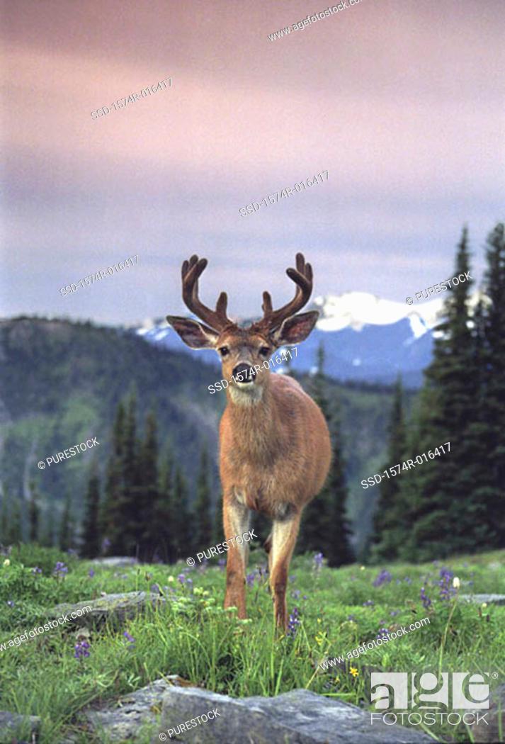 Stock Photo: Deer Olympic National Park Washington USA.