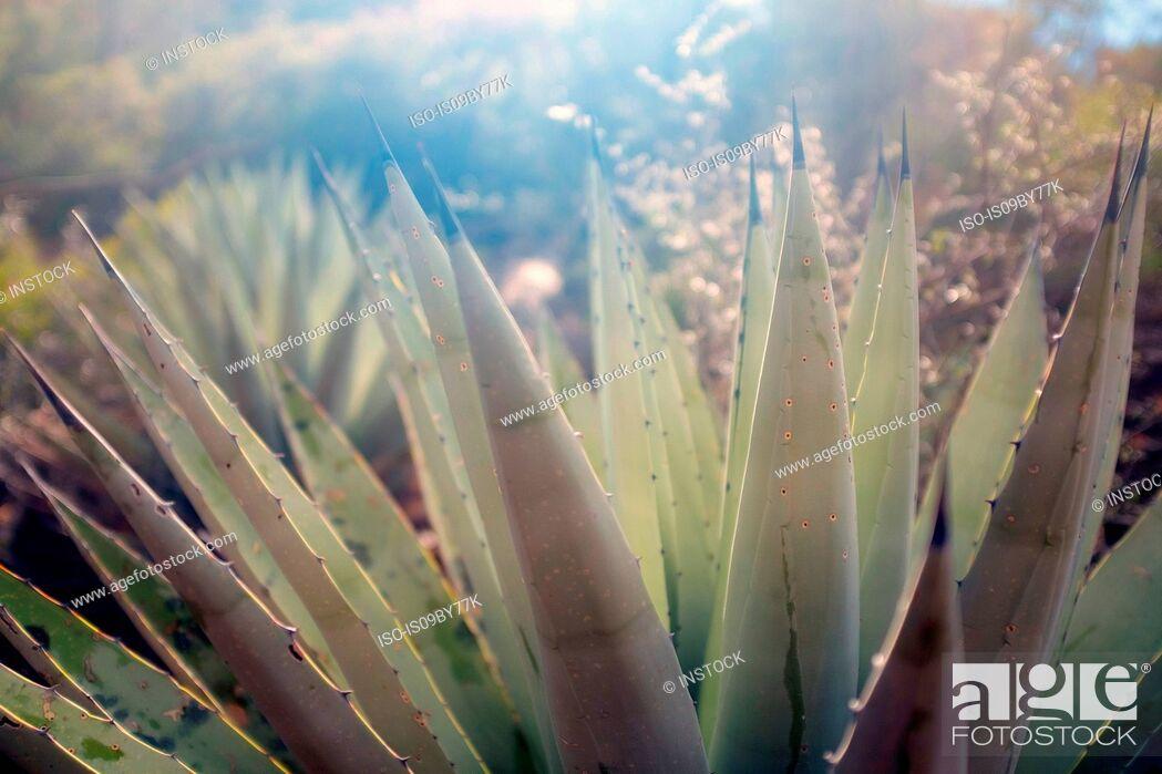 Stock Photo: Agave Havardiana with symmetrical rosettes of rigid, silver-grey leaves and dark greyish-brown terminal spine, Sedona, Arizona, USA.
