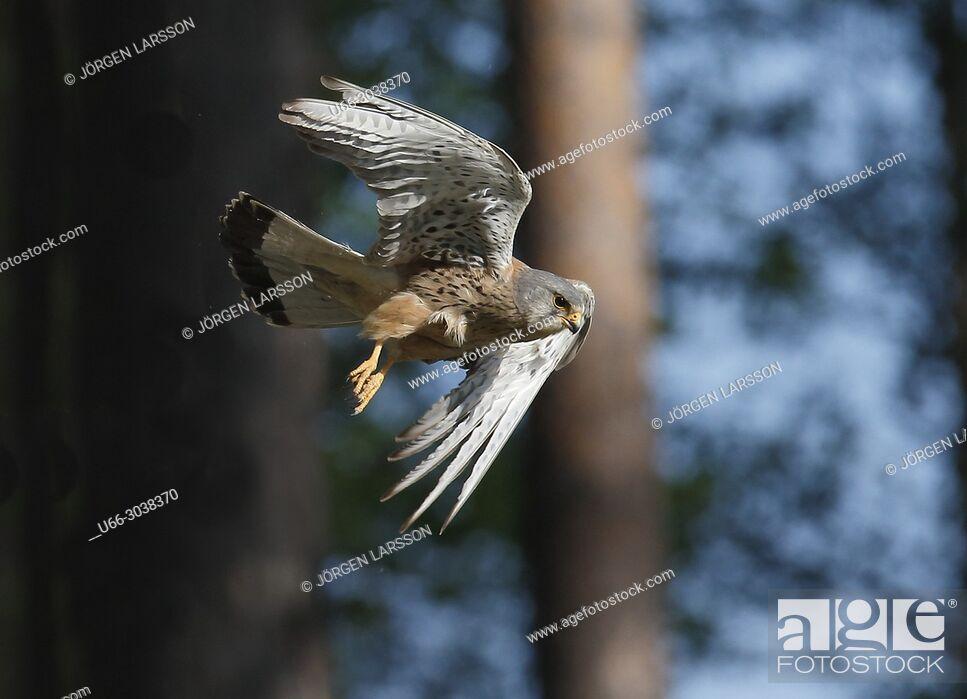 Stock Photo: Kestrel in flight. Boden, Vasterbotten, Sweden.