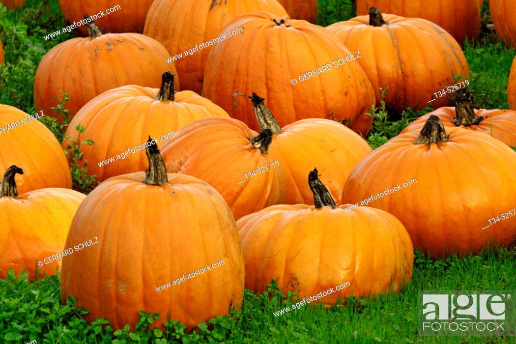 Stock Photo: Pumpkins. California, USA.
