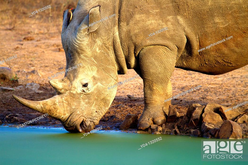 Stock Photo: White Rhinoceros Ceratotherium simum, in the waterhole, Kruger National Park, South Africa.