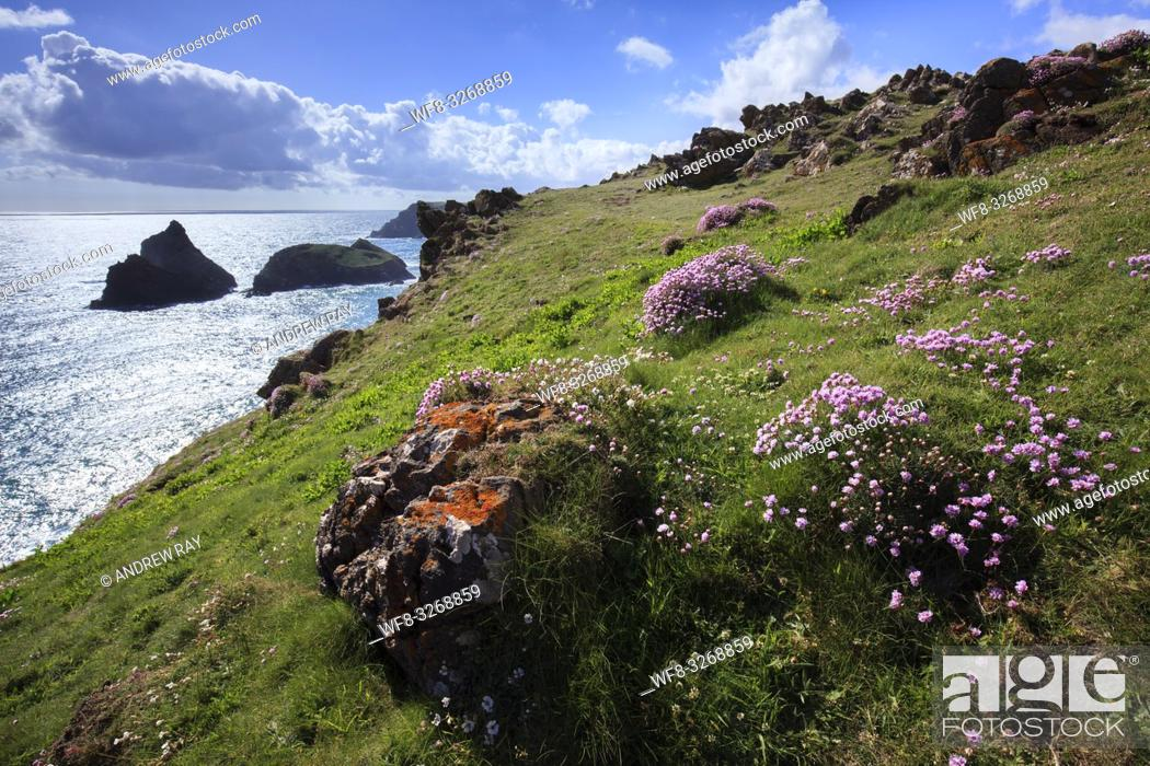Stock Photo: Sea thrift near the South West Coast Path on Cornwall's Lizard Peninsula with the sea stacks at Kynance Cove in the distance.