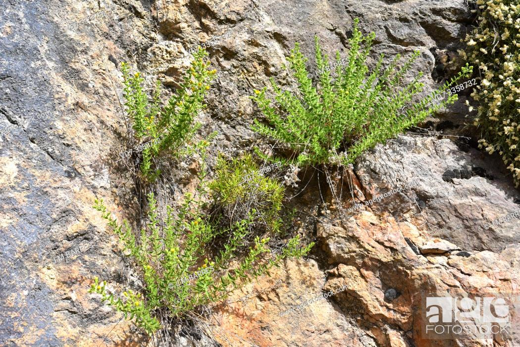 Stock Photo: Chiliadenus glutinosus or Jasonia glutinosa is a medicinal perennial herb that grows on limestone rocks. This photo was taken in Sierra de Cazorla Natural Park.