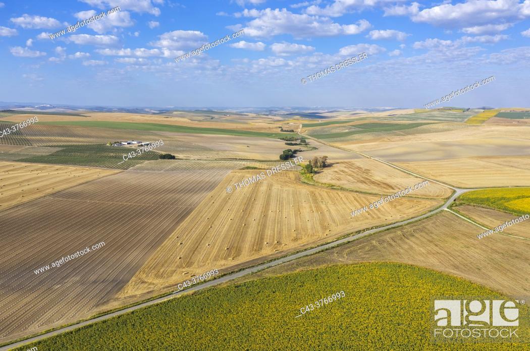 Stock Photo: The Campiña Cordobesa, the fertile rural area south of the town of Córdoba with cultivations of olive trees (Olea europaea).
