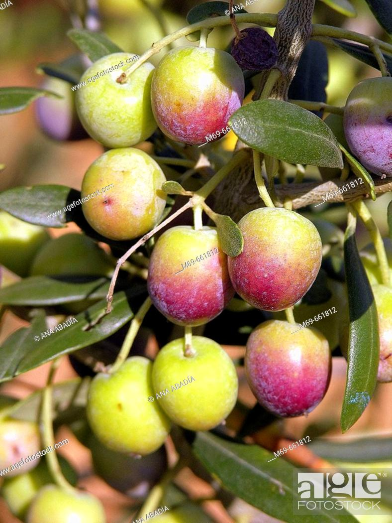 Stock Photo: Arbequinas olives.