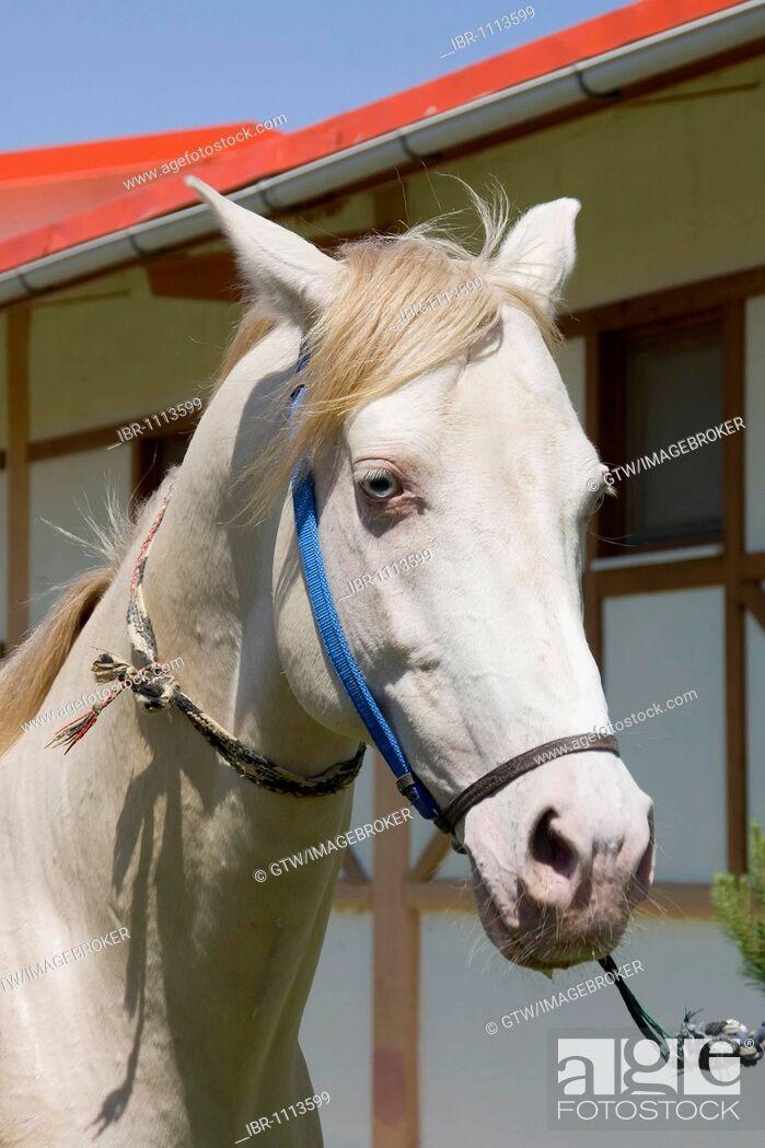 Stock Photo: Ashgabat, Akhal-Teke horse in a stud farm, Turkmenistan.