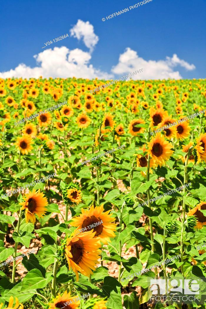Stock Photo: Field of sunflowers in Provence, France, Europe.