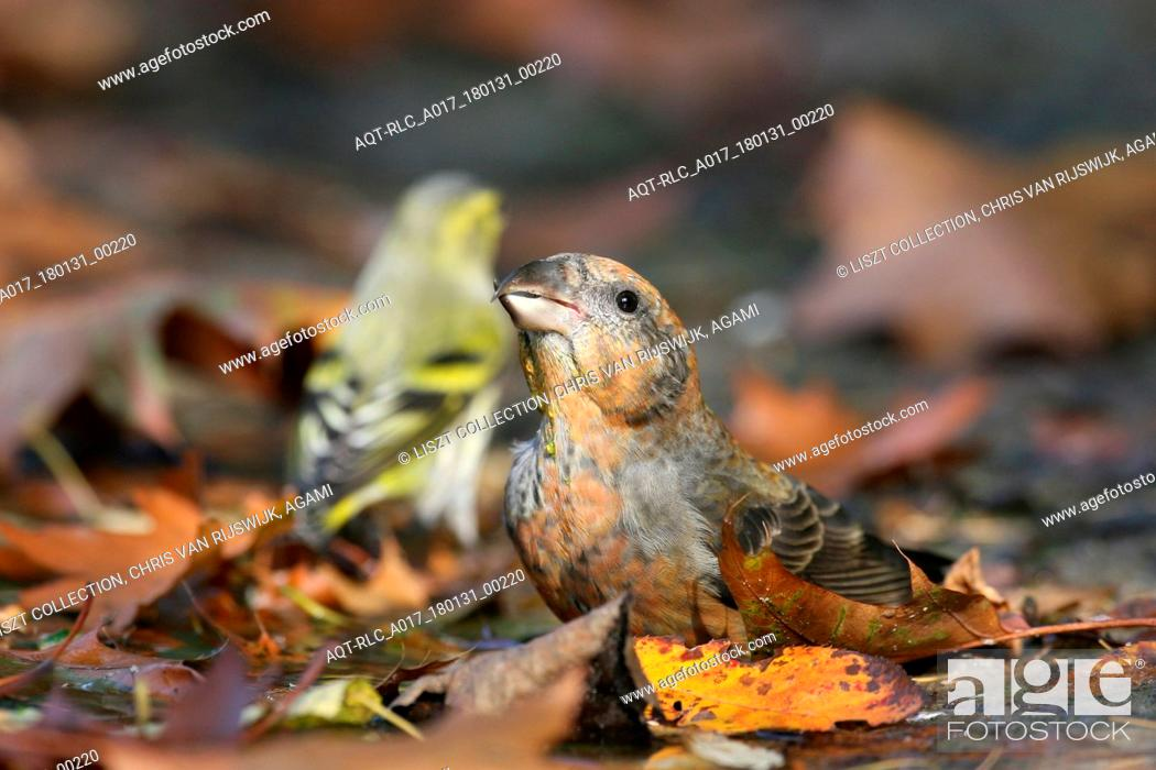 Stock Photo: Common Crossbill foraging on the ground Netherlands.