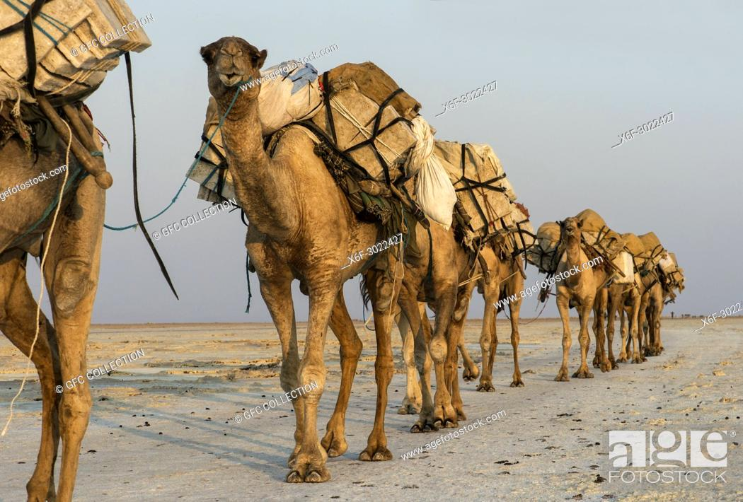 Stock Photo: Dromedary caravan carrying salt (halite) slabs over Lake Assale, Danakil depression, Afar region, Ethiopia.