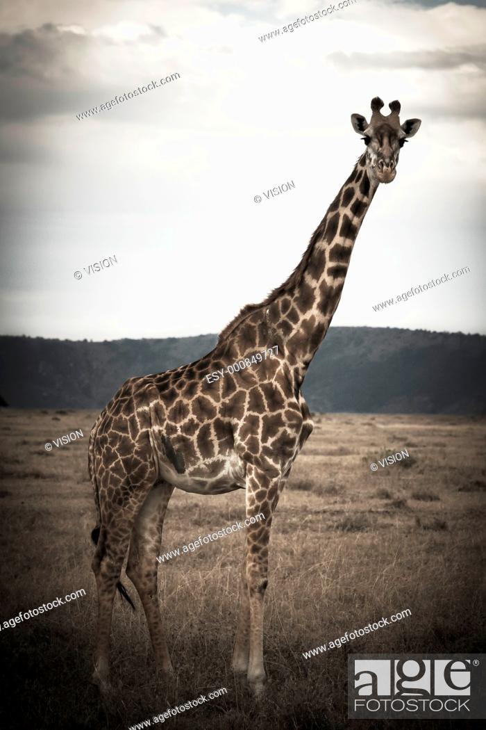 Stock Photo: giraffe in the masai mara reverse in kenya africa.
