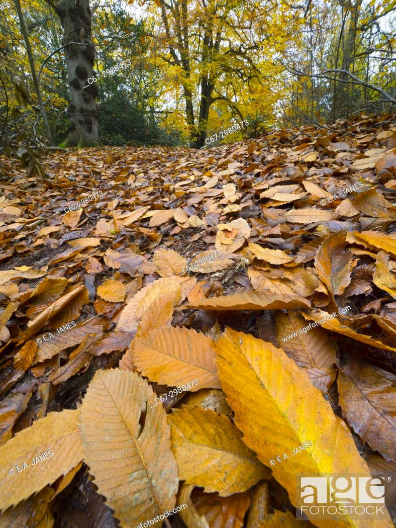 Stock Photo: Beech trees Fagus sylvatica and autumn leaves Felbrigg Great Wood Norfolk UK Early November.