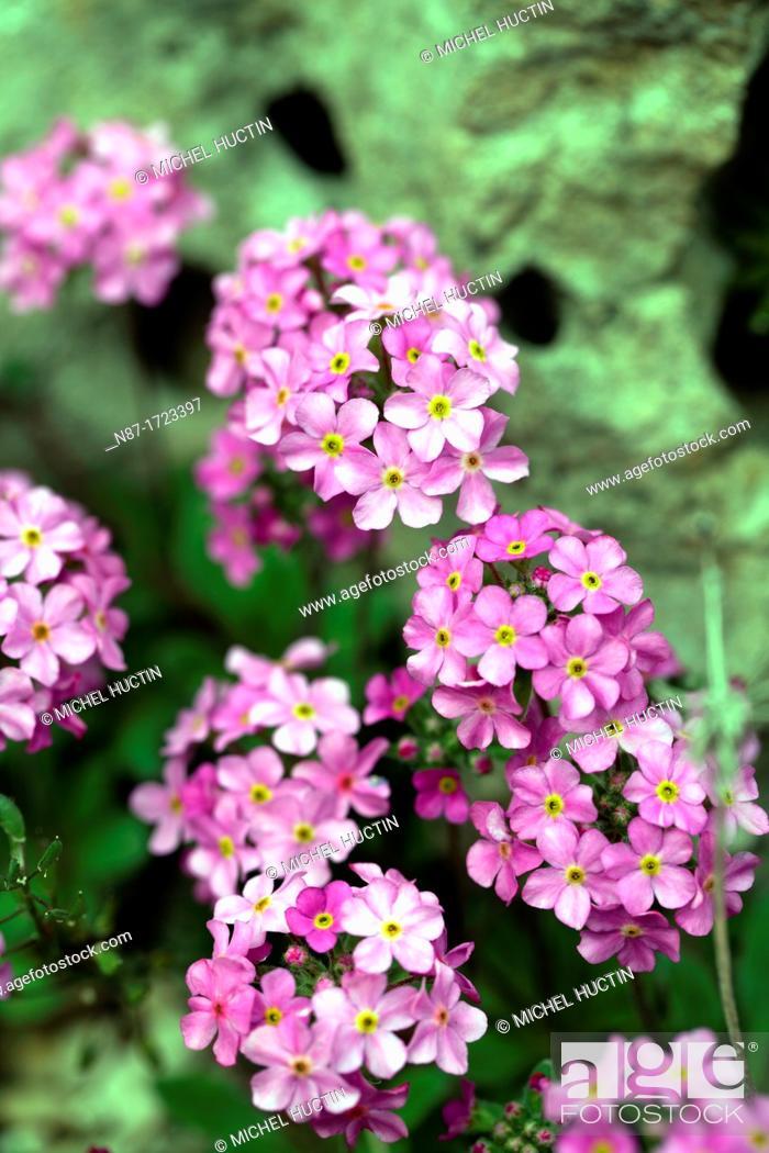 Stock Photo: Rosularia alpestre.