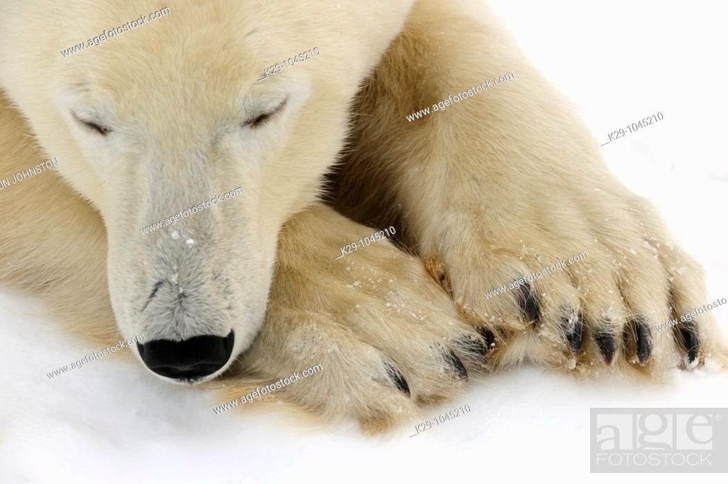 Stock Photo: Polar bear Ursus maritimus.