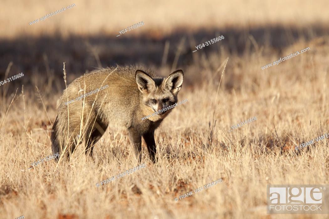 Stock Photo: Bat Eared Fox (Otocyon megalotis). Mokala National Park, South Africa.