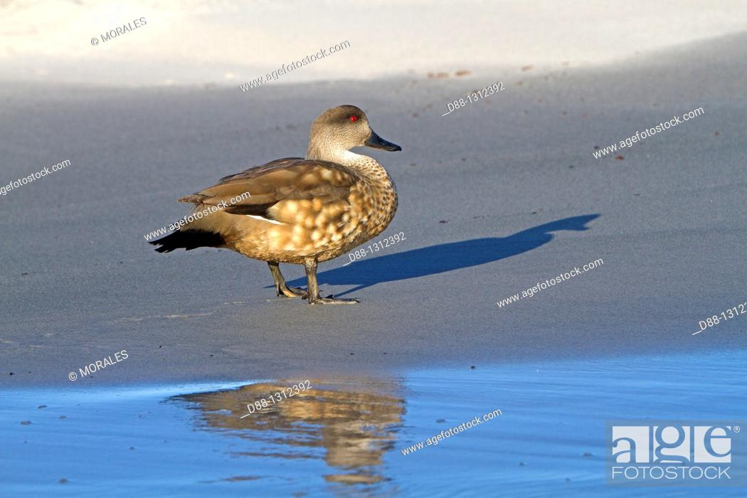 Stock Photo: Falkland Islands , Sea LIon island , Crested Duck  Lophonetta specularioides specularioides.