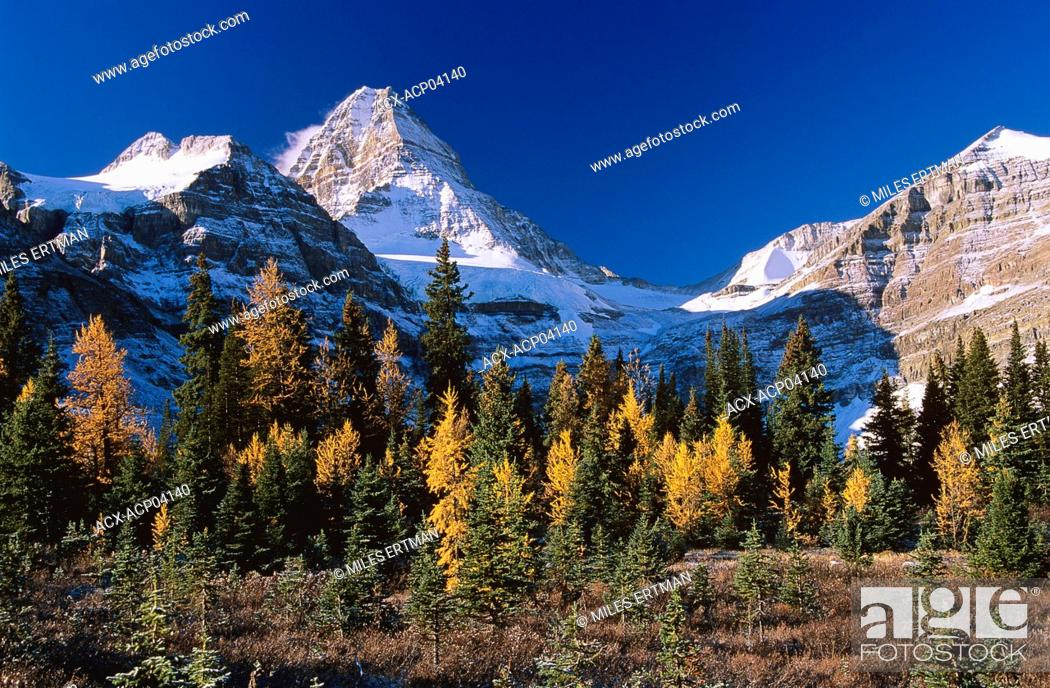 Stock Photo: Mount Assiniboine and stand of larch trees in autumn, Mount Assiniboine Provincial Park, British Columbia, Canada.