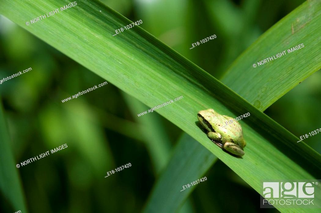 Stock Photo: Canada, BC, Saltspring Island  West coast tree frog on leaf at Weston Lake  Pseudacris regilla.
