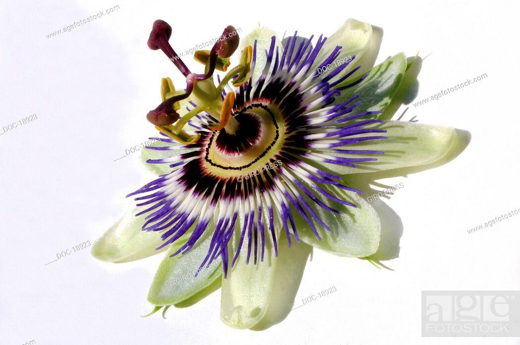 Imagen: passion flower  Passiflora incarnata.