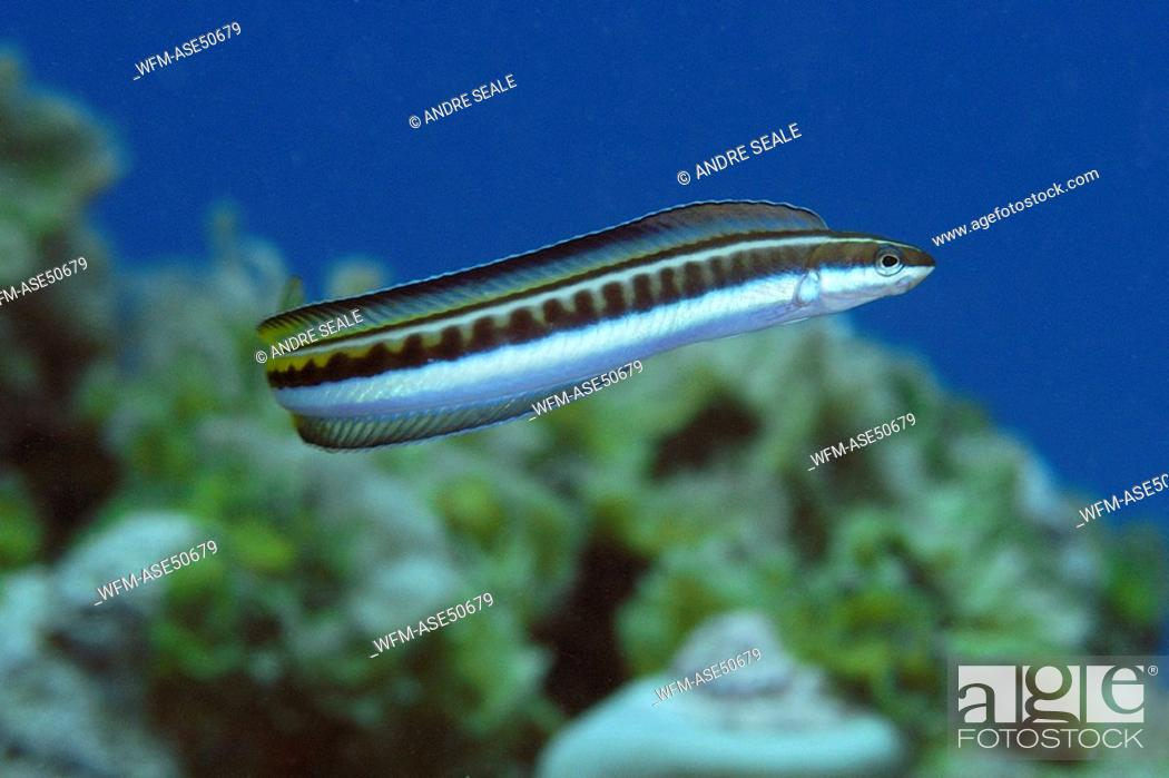 Stock Photo: Piano Flag Blenny, Plagiotremus tapeinosoma, Namu Atoll, Pacific, Marshall Islands.