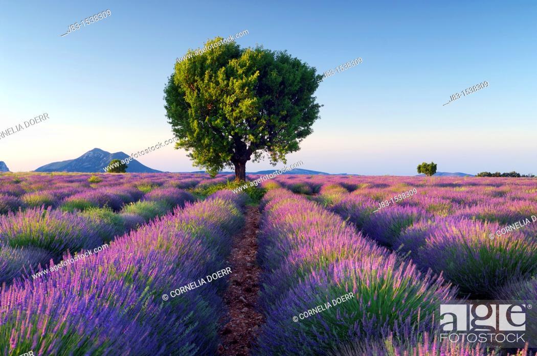 Stock Photo: Lavender (Lavendula angustifolia) field with tree. Plateau de Valensole, near the village of Valensole. Alpes-de-Haute-Provence, Provence-Alpes-Cote d'Azur.