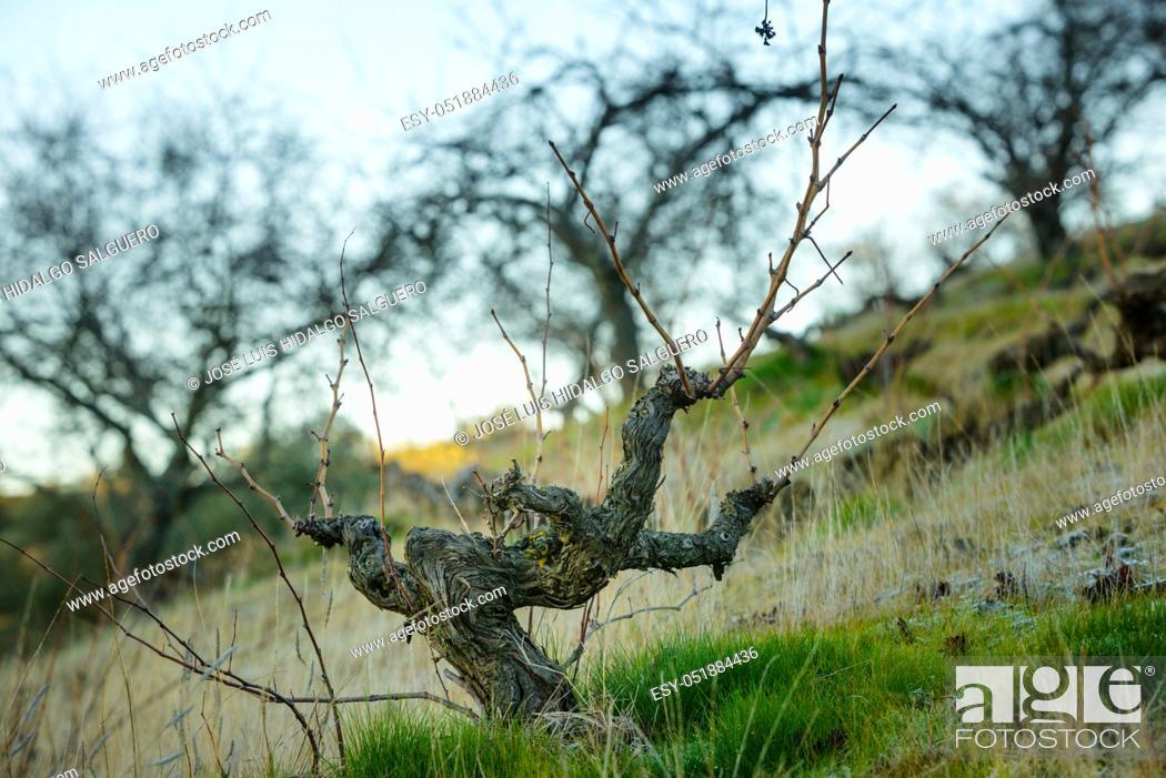 Stock Photo: Vineyard in La Viñuela, Málaga, Andalusia, Spain, Europe.