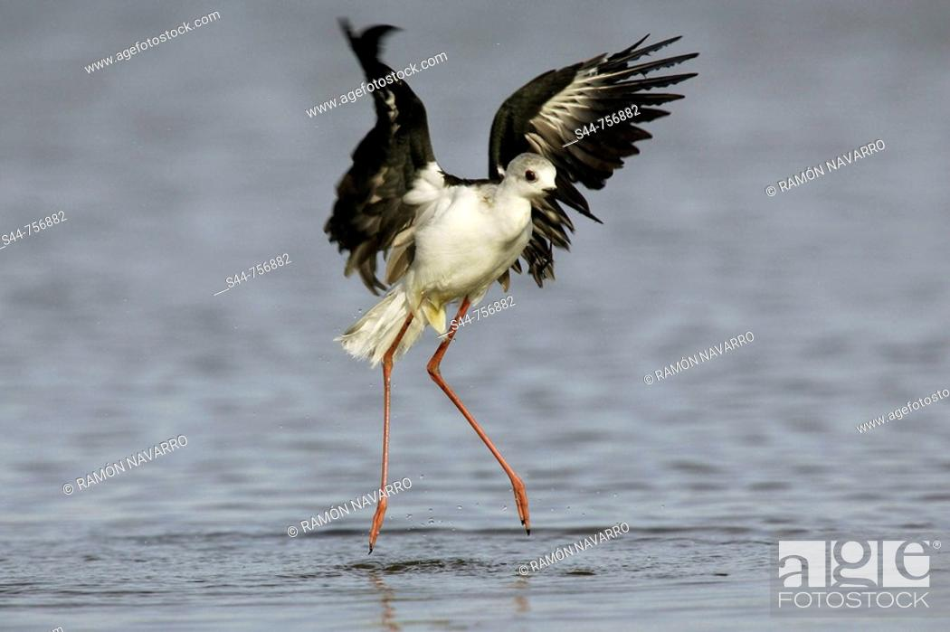 Stock Photo: Black-winged Stilt (Himantopus himantopus), Doñana National Park. Andalucia, Spain.