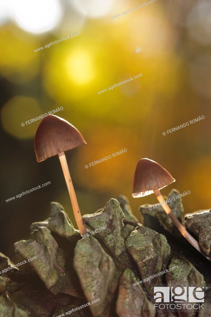 Imagen: Mushroom growing on pine at Lousã Mountain, Portugal.