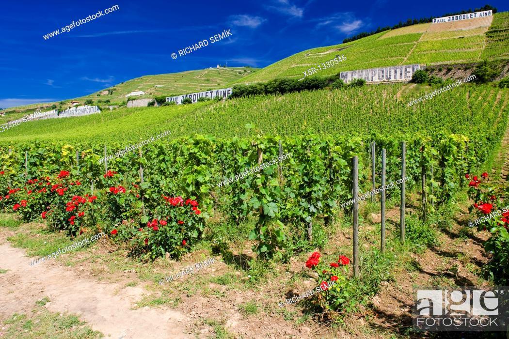 Stock Photo: grand cru vineyard, L'Hermitage, Rhone-Alpes, France.