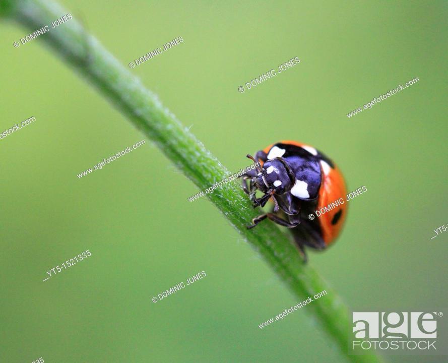 Stock Photo: Ladybird, Worcestershire, England, Europe.
