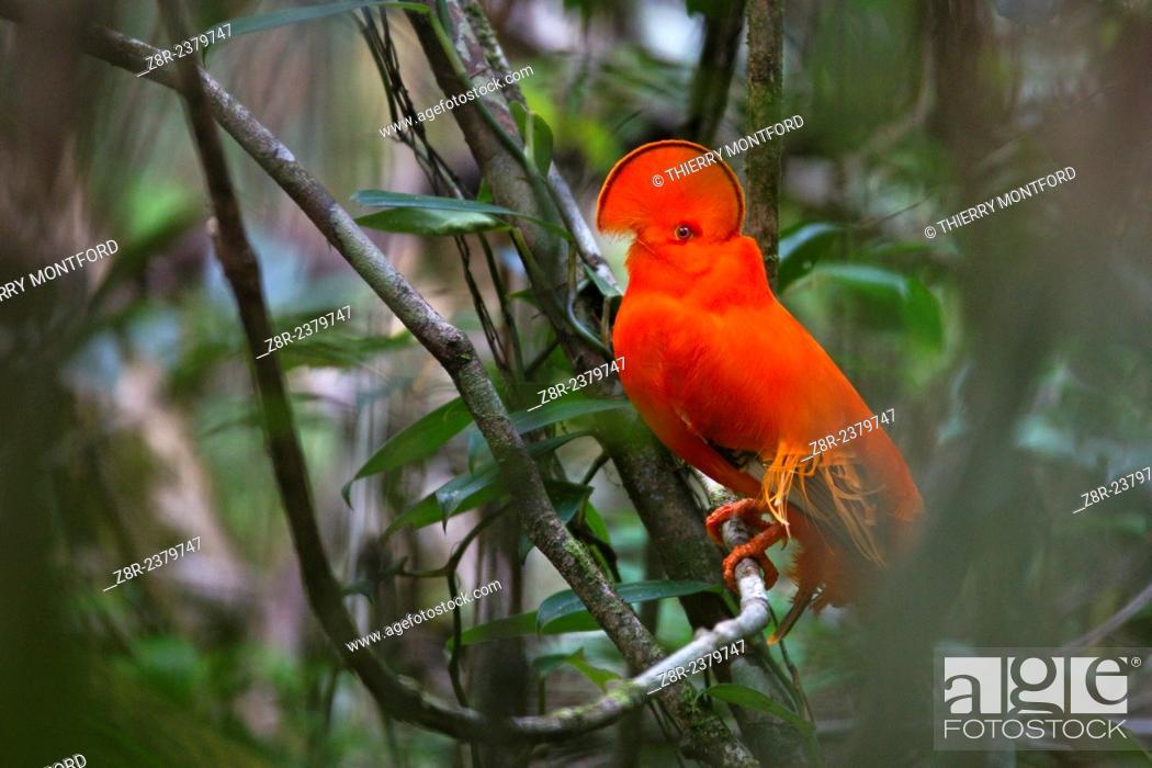 Stock Photo: Rupicola rupicola. Male cock of the rock . Kaw mountain. French Guiana.