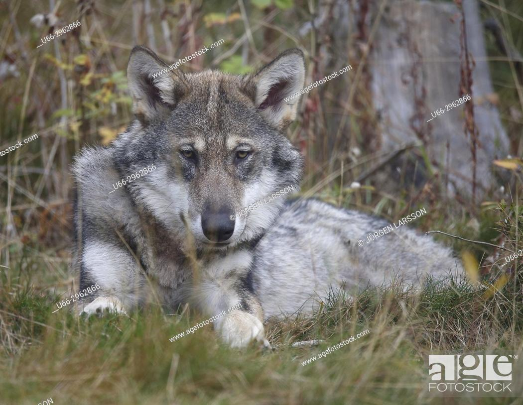 Stock Photo: Wolf (Canis lupus), Gronklitt, Dalarna, Sweden.