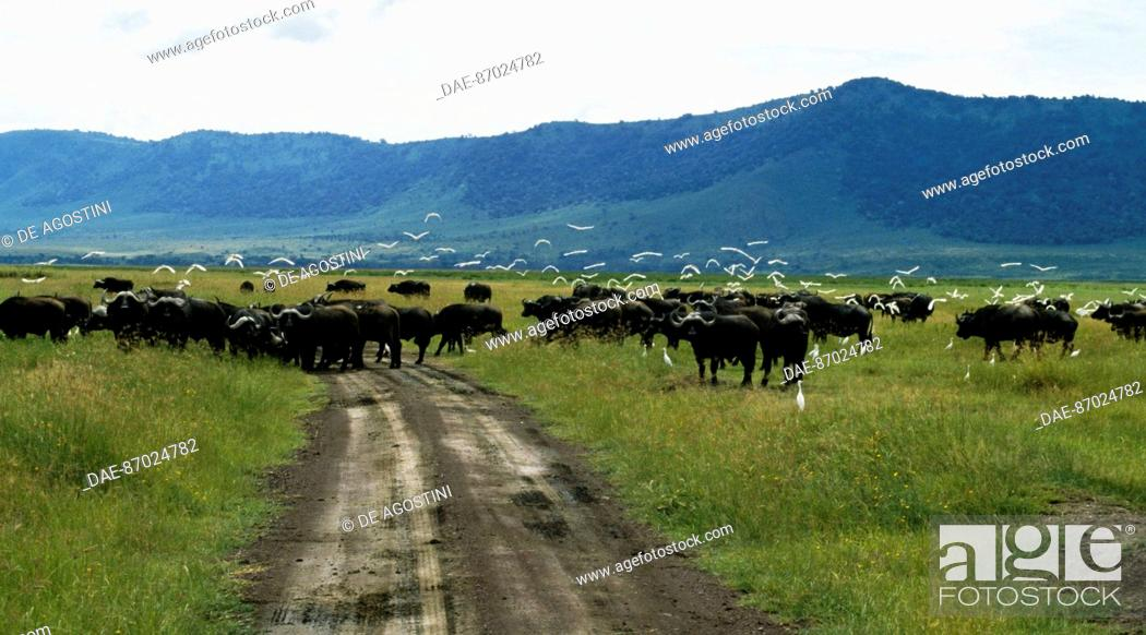 Stock Photo: African Buffalo (Syncerus caffer) crossing A track in Ngorongoro Conservation Area (UNESCO World Heritage List, 1979), Tanzania.