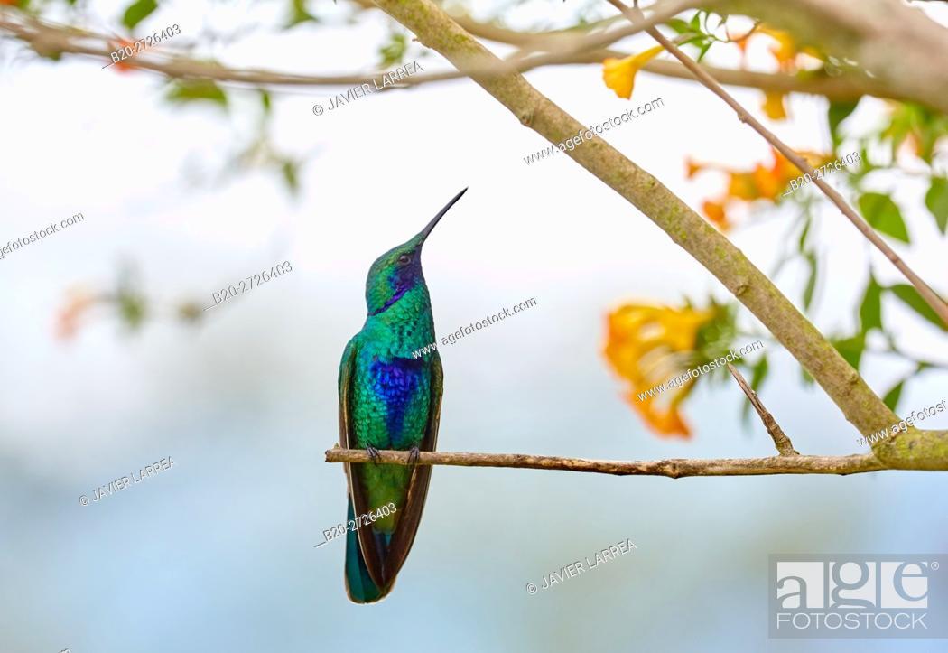 Stock Photo: Colibri, Hummingbird, Trochilinae, Valle del Cocora, Salento, Quindio, Colombia, South America.