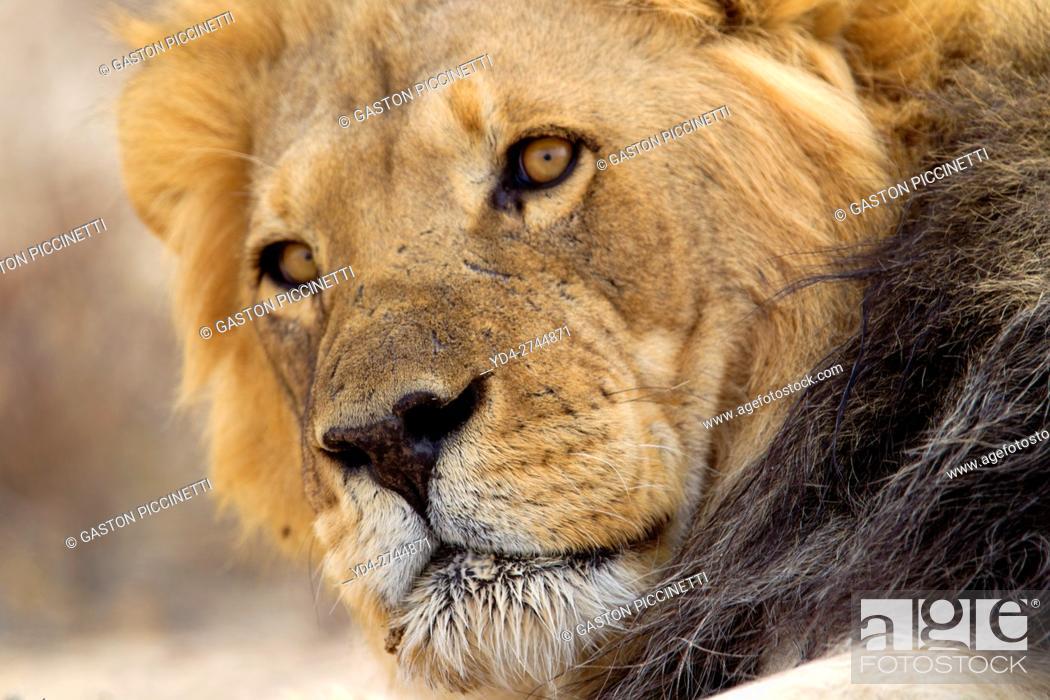 Stock Photo: African lion (Panthera leo) - Male, Kgalagadi Transfrontier Park, Kalahari desert, South Africa.