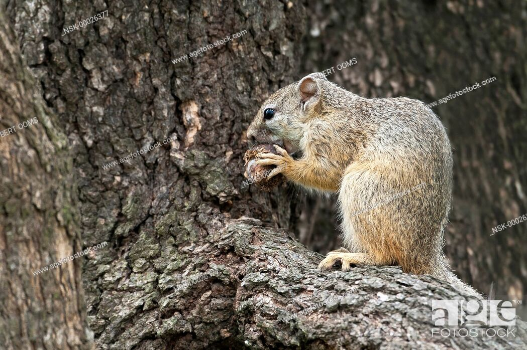 Imagen: Smith's bush squirrel (Paraxerus cepapi) on the branch of a tree holding an overripe marula (Sclerocarya birrea) in his claws, South Africa, Mpumalanga.