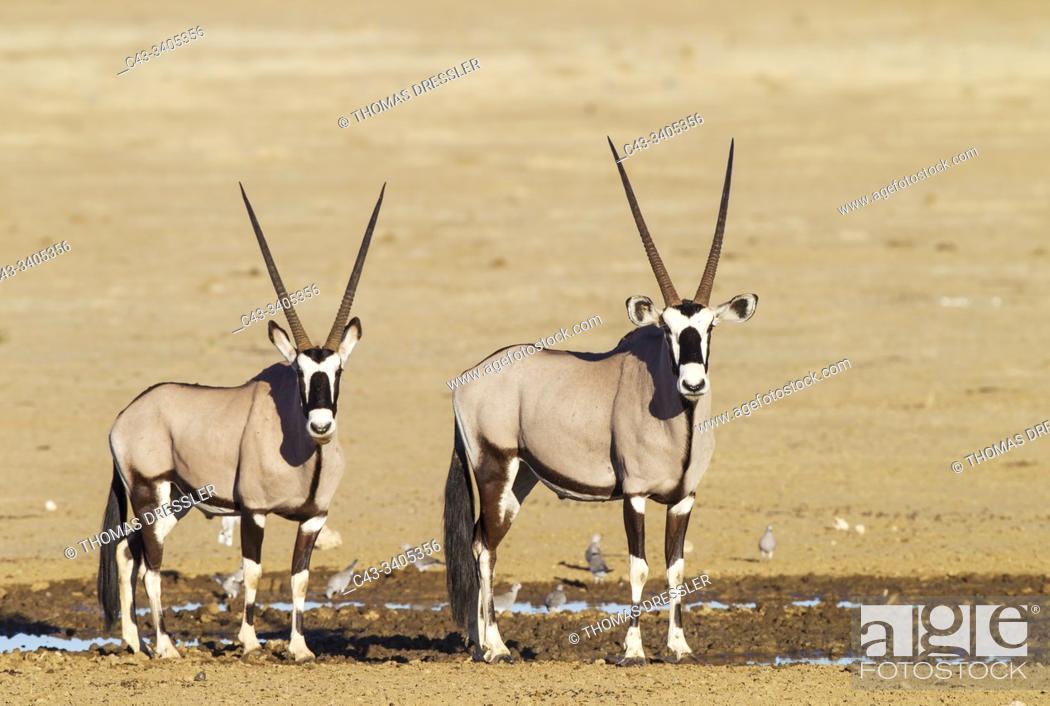 Stock Photo: Gemsbok (Oryx gazella). Two males at a waterhole. Kalahari Desert, Kgalagadi Transfrontier Park, South Africa.