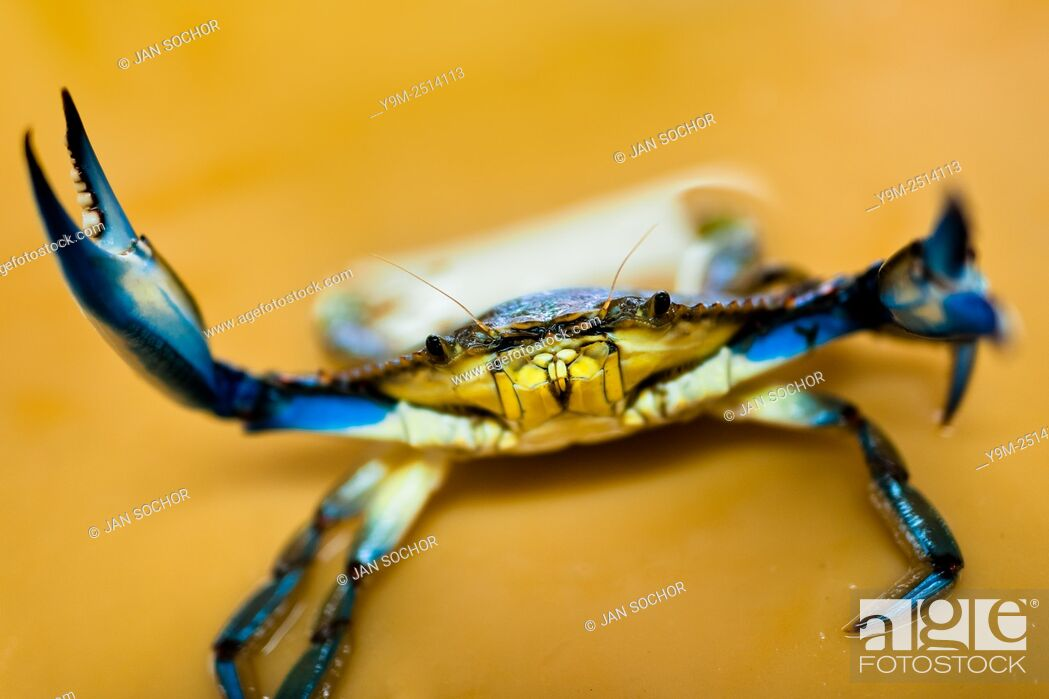 Stock Photo: A blue crab attacks a seller at the seafood and fish market in Veracruz, Mexico.