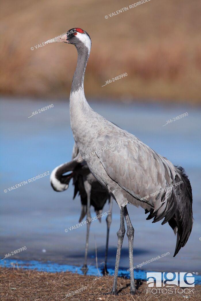 Imagen: Crane (Grus grus) in the wildlife reserve Gallocanta. Zaragoza. Spain.