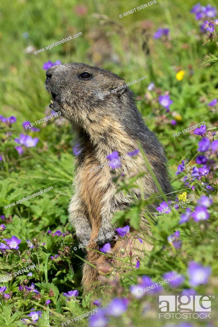 Stock Photo: Alarmed Alpine marmot (Marmota marmota) standing upright and calling among wildflowers in Alpine pasture in summer, Hohe Tauern NP, Carinthia, Austria.