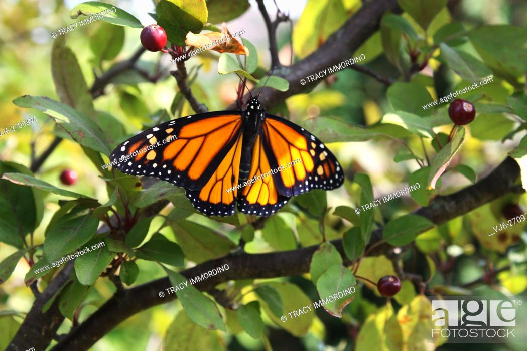 Stock Photo: Close up of a male Monarch butterfly with wings spread resting in a Malus Prairifire Crabapple tree in Trevor, Wisconsin, USA.