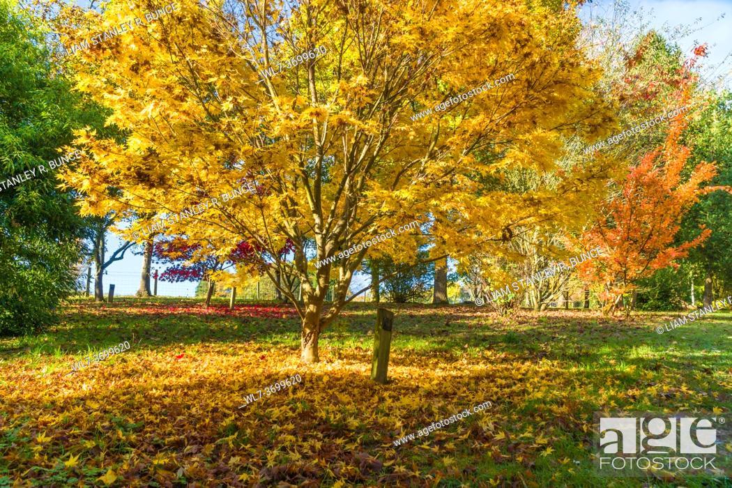 Stock Photo: Japanese Maple (Acer palmatum, Bodenham Arboretum Worcestershire UK. October 2020.