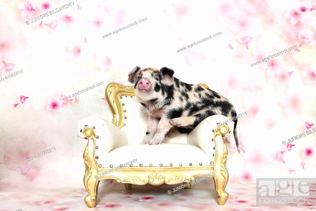 Imagen: Domestic Pig, Turopolje x ?. Piglet (4 weeks old) on an antique armchair. Studio picture seen against a white background with flower print. Germany.